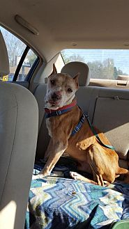 American Staffordshire Terrier Dog for adoption in Fulton, Missouri - Connor - Florida