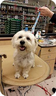 Lhasa Apso/Poodle (Standard) Mix Dog for adoption in Runnemede, New Jersey - Zippy