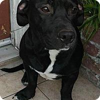 Adopt A Pet :: Joe - Darling Black Low Rider - Seattle, WA