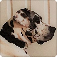 Great Dane Mix Dog for adoption in Oakley, California - Maximus