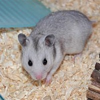 Hamster for adoption in Vancouver, Washington - Aggy