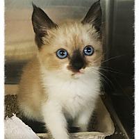 Adopt A Pet :: Shay Shay - Los Alamitos, CA