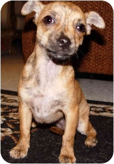 Chihuahua Mix Puppy for adoption in Beverly Hills, California - Chelsea