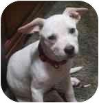 Pit Bull Terrier Mix Puppy for adoption in Harrisburg, Pennsylvania - Joy