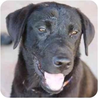 Labrador Retriever Mix Puppy for adoption in Gilbert, Arizona - Nash