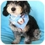 Photo 2 - Havanese/Miniature Poodle Mix Dog for adoption in Irvine, California - Cargo