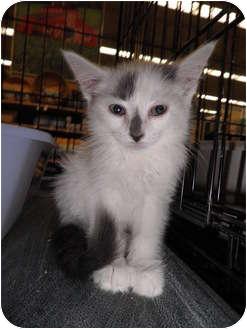 Domestic Shorthair Kitten for adoption in Warren, Michigan - Smudge