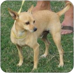 Chihuahua Mix Dog for adoption in Allentown, Pennsylvania - Albert