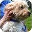 Photo 3 - Poodle (Miniature)/Schnauzer (Standard) Mix Puppy for adoption in Oswego, Illinois - Arthur