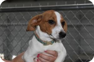 Jack Russell Terrier/Beagle Mix Dog for adoption in Russellville, Kentucky - Pebbles