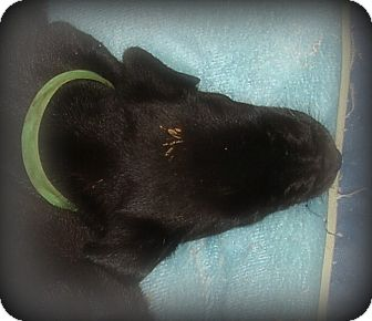 Labrador Retriever Mix Puppy for adoption in Arkadelphia, Arkansas - Harrison