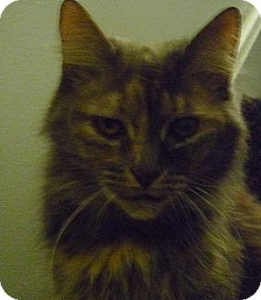 Domestic Longhair Cat for adoption in Hamburg, New York - Cuddles