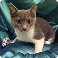 Adopt A Pet :: Shea - Alexandria, VA