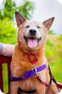 Australian Cattle Dog Dog for adoption in Ossipee, New Hampshire - Dingo