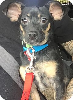 Chihuahua/Dachshund Mix Puppy for adoption in Encino, California - Dallas