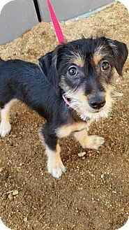 Schnauzer (Miniature)/Chihuahua Mix Puppy for adoption in Edwards AFB, California - Daisy