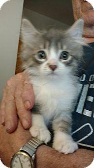 Domestic Longhair Kitten for adoption in Toledo, Ohio - Denny