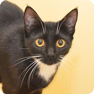 Domestic Shorthair Cat for adoption in Eastsound, Washington - Trudy