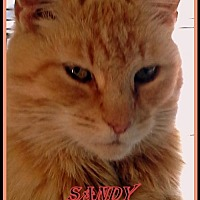 Domestic Mediumhair Cat for adoption in Berkeley Springs, West Virginia - Sandy