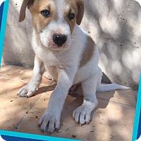 Adopt A Pet :: Clifford - Scottsdale, AZ