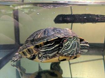 Turtle - Other for adoption in Pefferlaw, Ontario - Tara