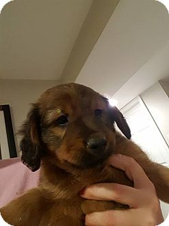 Terrier (Unknown Type, Medium) Mix Puppy for adoption in WESTMINSTER, Maryland - Butterball