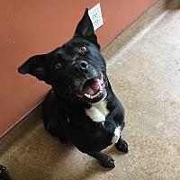 Adopt A Pet :: Bolt - Downingtown, PA