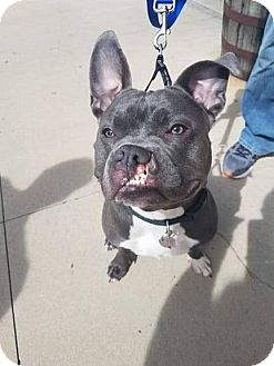 French Bulldog/English Bulldog Mix Dog for adoption in Warrenville, Illinois - Bronson