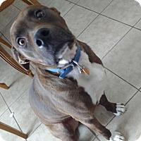 Labrador Retriever/Pit Bull Terrier Mix Dog for adoption in bath, Maine - DEXTER