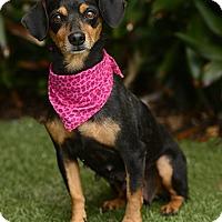 Adopt A Pet :: Chloe - Rancho Palos Verdes, CA