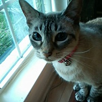 Siamese Cat for adoption in Baytown, Texas - Misty