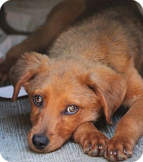 Retriever (Unknown Type) Mix Puppy for adoption in Irvine, California - RED