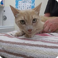 Domestic Shorthair/Domestic Shorthair Mix Cat for adoption in Palm Coast, Florida - Edward