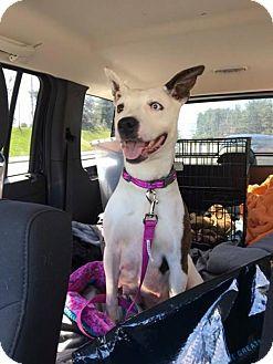 Corgi/American Bulldog Mix Dog for adoption in Brookeville, Maryland - Abbey