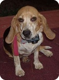 Basset Hound Dog for adoption in Charleston, South Carolina - Bitsy