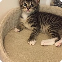 Domestic Shorthair Kitten for adoption in Stafford, Virginia - Radar