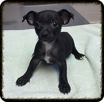Chihuahua/Dachshund Mix Puppy for adoption in Los Alamitos, California - Rudy