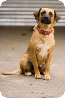 German Shepherd Dog/Beagle Mix Dog for adoption in Portland, Oregon - Addie