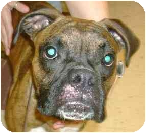 Boxer Dog for adoption in W. Columbia, South Carolina - Tut Tut
