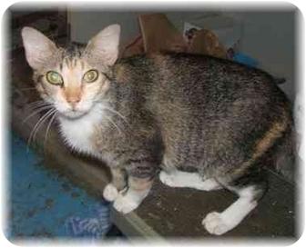 Calico Cat for adoption in Naples, Florida - Garnett