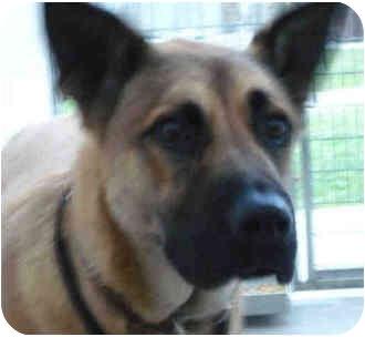 German Shepherd Dog/Boxer Mix Dog for adoption in San Clemente, California - SHADOW
