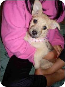Westie, West Highland White Terrier/Pekingese Mix Puppy for adoption in Foster, Rhode Island - Dolly
