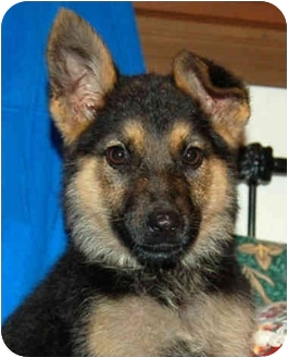 German Shepherd Dog Puppy for adoption in Los Angeles, California - Harlow von Hamburg