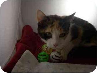 Domestic Shorthair Kitten for adoption in North Charleston, South Carolina - Sassy