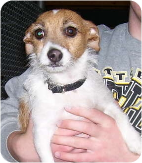 Jack Russell Terrier Mix Dog for adoption in Somerset, Pennsylvania - Ellie Mae