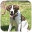 Photo 1 - Pointer Mix Puppy for adoption in Kingwood, Texas - Tessa
