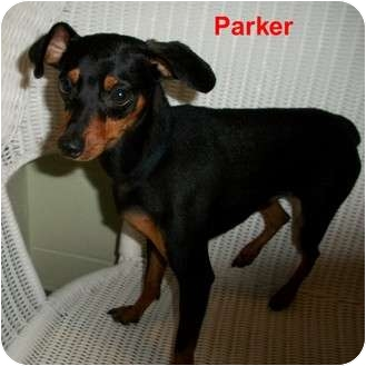 Miniature Pinscher Mix Dog for adoption in Slidell, Louisiana - Parker