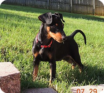Miniature Pinscher Puppy for adoption in Nashville, Tennessee - Spunky