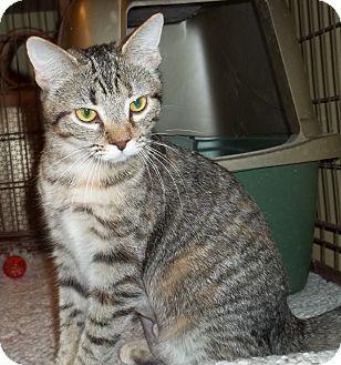 Domestic Shorthair Cat for adoption in Acme, Pennsylvania - Jemma
