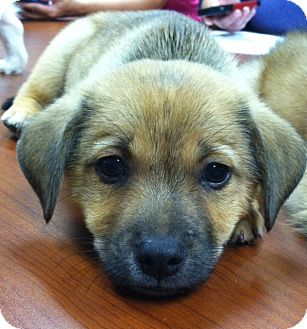 Pomeranian/Chihuahua Mix Puppy for adoption in Somers, Connecticut - Barkley